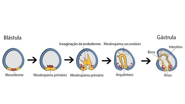 blastula1