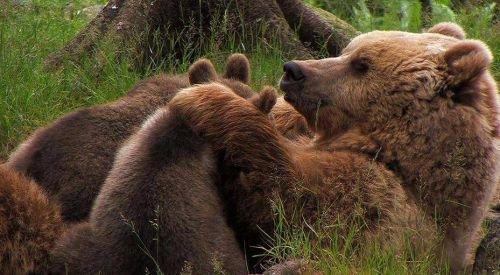 Ursa com filhotes