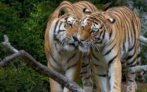 Carinho entre animais - Tigres
