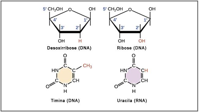 DNA e RNA - Diferenças