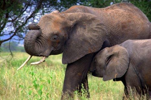 Elefante protegendo filhote