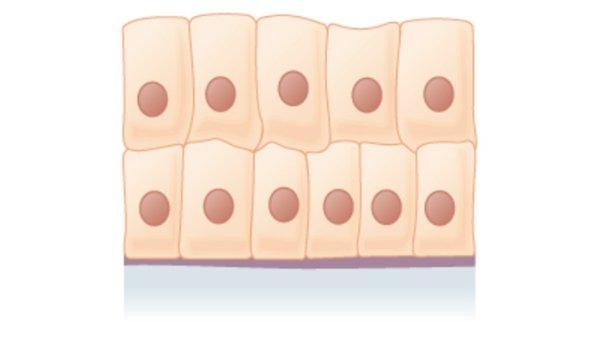 tecido epitelial de revestimento estratificado