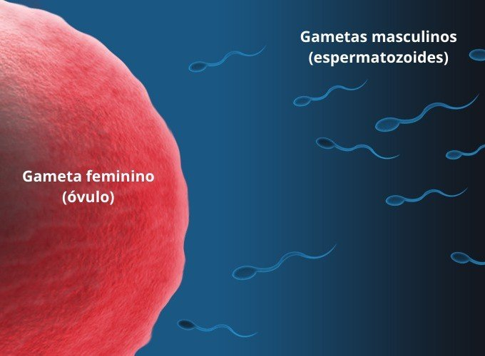 anisogamia óvulo espermatozoides