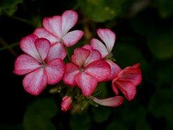 Resultado de imagem para gerâNIO  flor