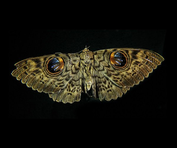 mariposa coruja