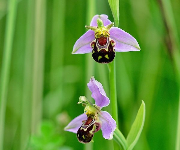 orquidea abelha