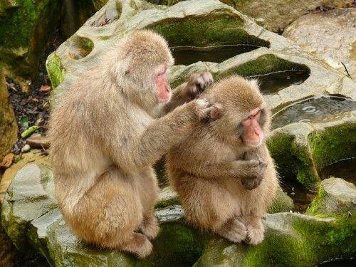 Carinho entre animais - Macacos