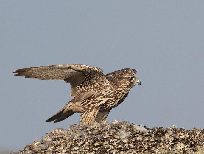gerifalte Falco rusticolus
