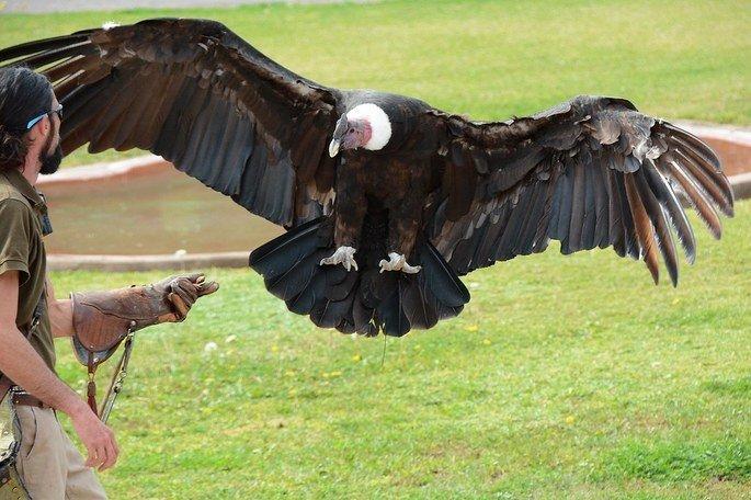 condor dos andes Vultur gryphus