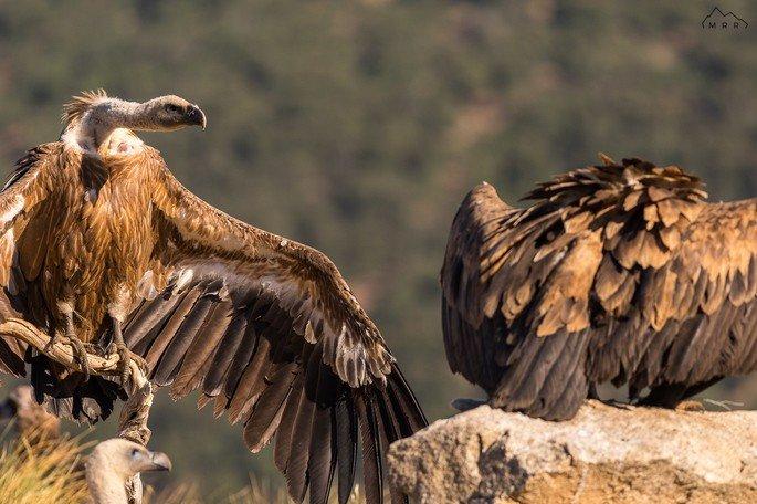 abutre preto Aegypius monachus