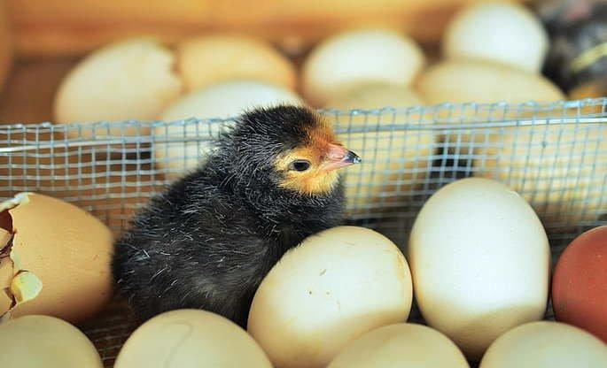 ovíparos ovos pintinho