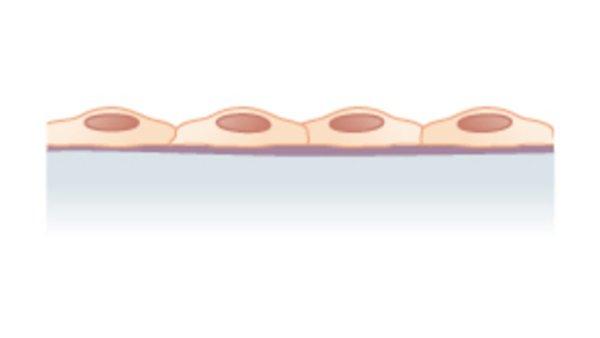 tecido epitelial de revestimento simples
