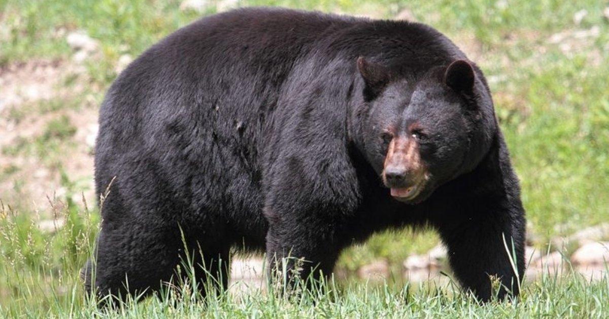 urso-negro americano