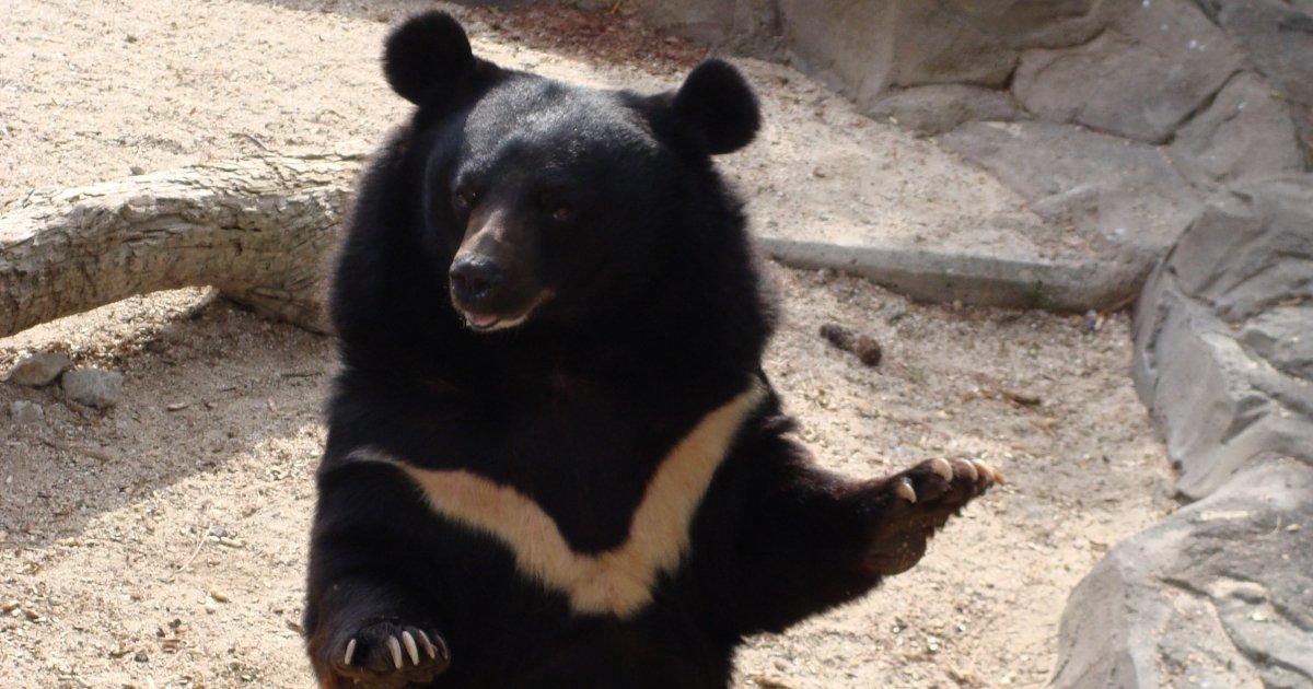 urso-negro-asiático
